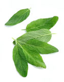 Sage leaves close up Royalty Free Stock Image