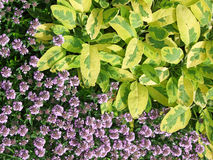 Sage leaves and flowering thyme Royalty Free Stock Photography