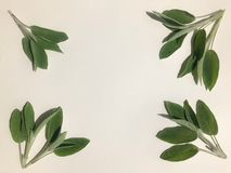 Sage leaves in a frame shape on white background stock photos