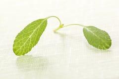 Sage leaves. Royalty Free Stock Image