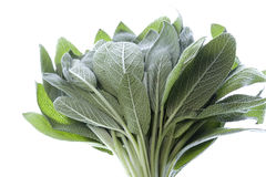 Sage Leaves Isolated Royalty Free Stock Images