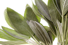 Sage Leaves Isolated Stock Photo
