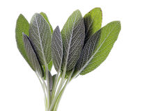 Sage Leaves Isolated Royalty Free Stock Photo