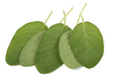 Sage leaves isolated. On white background royalty free stock photography