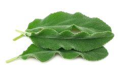 sage leaves isolated on white background. green leaves royalty free stock images