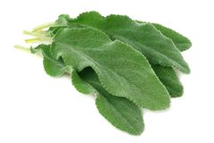 sage leaves isolated on white background. green leaves stock image