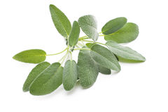 Sage leaves isolated on white Royalty Free Stock Image