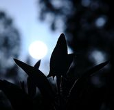 Sage leaves backlit with the sun at dawn Royalty Free Stock Images