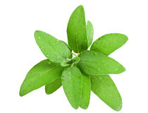 Sage leaves wet Stock Photography