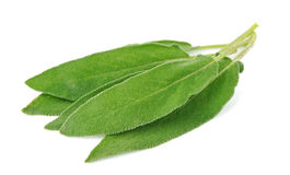 Sage leaves Stock Photos