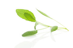 Sage leaves on white. Royalty Free Stock Photo