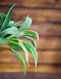 Sage leaves on wooden background Royalty Free Stock Photos