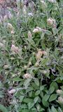Sage in bloom in early spring royalty free stock image