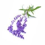 Sage, ore Blue Salvia Royalty Free Stock Photos