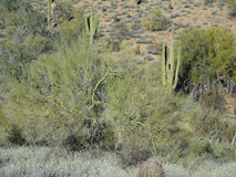 Sage, Palo Verde and Saguaro Royalty Free Stock Photos