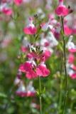 Sage Pink-lippen royalty-vrije stock afbeelding