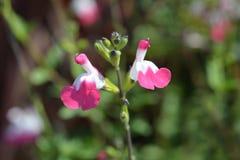 Sage Pink-lippen stock afbeeldingen