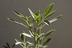 Sage plant Stock Image
