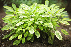 Sage plant. Fresh green sage herb plant growing in garden stock photography