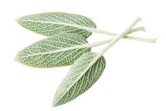 Sage plant Royalty Free Stock Image