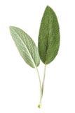 Sage plant Stock Photography