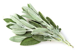 Sage plant Stock Photos