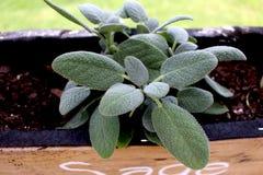Sage Plant Close  photos libres de droits