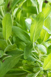 Sage Plant (close-up shot) Royalty Free Stock Photography