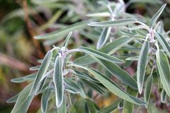 Sage Plant in the garden in Europe Royalty Free Stock Images