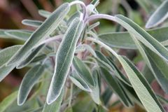 Sage Plant in the garden in Europe Stock Photo