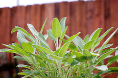 Sage plant in the garden Royalty Free Stock Photos