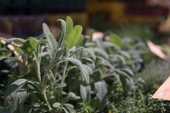 Sage plant green leafs detail Stock Image