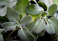 Sage Plant Stock Photography