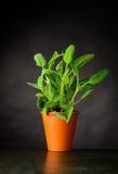 Sage Plant Growing in vaso Fotografie Stock Libere da Diritti