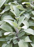 Sage plant Royalty Free Stock Photos