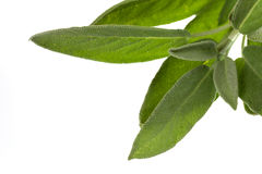 Sage plant ,isolated on white background Royalty Free Stock Photos