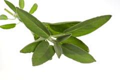 Sage plant ,isolated on white background Stock Photo