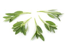 Sage plant isolated on a white background.  royalty free stock images