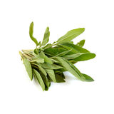 Sage plant isolated on white Royalty Free Stock Photos