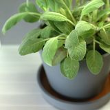 Sage plant in a pot stock photos