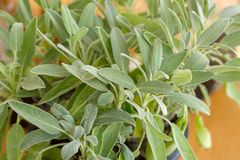 Sage plant, Sage in the herbal garden royalty free stock photo