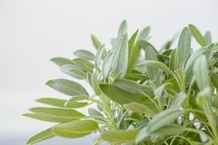 Sage plant, Sage in the herbal garden stock image