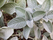 Sage plant Royalty Free Stock Images