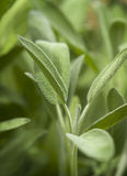 Sage Plant Stock Photos