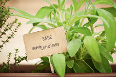Sage plant on urban garden Stock Photography