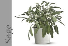 Sage plant in vase. Isolated on white stock photography