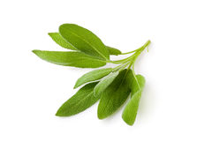 Sage plant on a white background Stock Photography