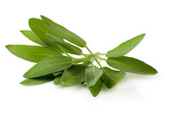 Sage plant on a white background Royalty Free Stock Images