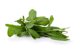 Sage plant on a white background Royalty Free Stock Image