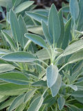Sage plants (Salvia officinalis) Royalty Free Stock Photography